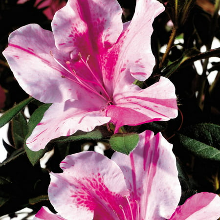 Pink Azalea Plant - Encore Azalea Autumn Twist | Bicolor Blooms (Pink and White) - Live Evergreen Shrub