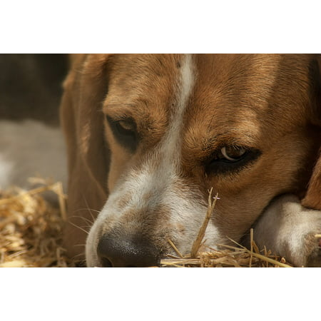 Canvas Print Pack Dog Hunting Dog Beagle Hunting Stretched Canvas 10 x (Rabbit Hunting Beagles For Sale In Louisiana)