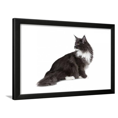 - Maine Coon Cat Framed Print Wall Art By Fabio Petroni