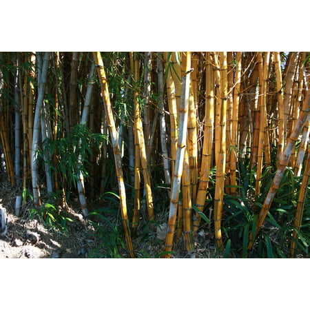 LAMINATED POSTER Tropical Jungle Growth Bamboo Trees Nature Green Poster Print 24 x 36