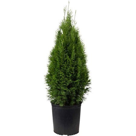 Emerald Green Arborvitae | Evergreen Shrub/Tree - Live Landscaping