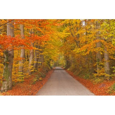 Autumn Colours in Beech Trees on the Road to Turkdean in the Cotwolds, Gloucestershire, England, UK Print Wall Art By Julian (Tri Color Beech Tree For Sale In Michigan)