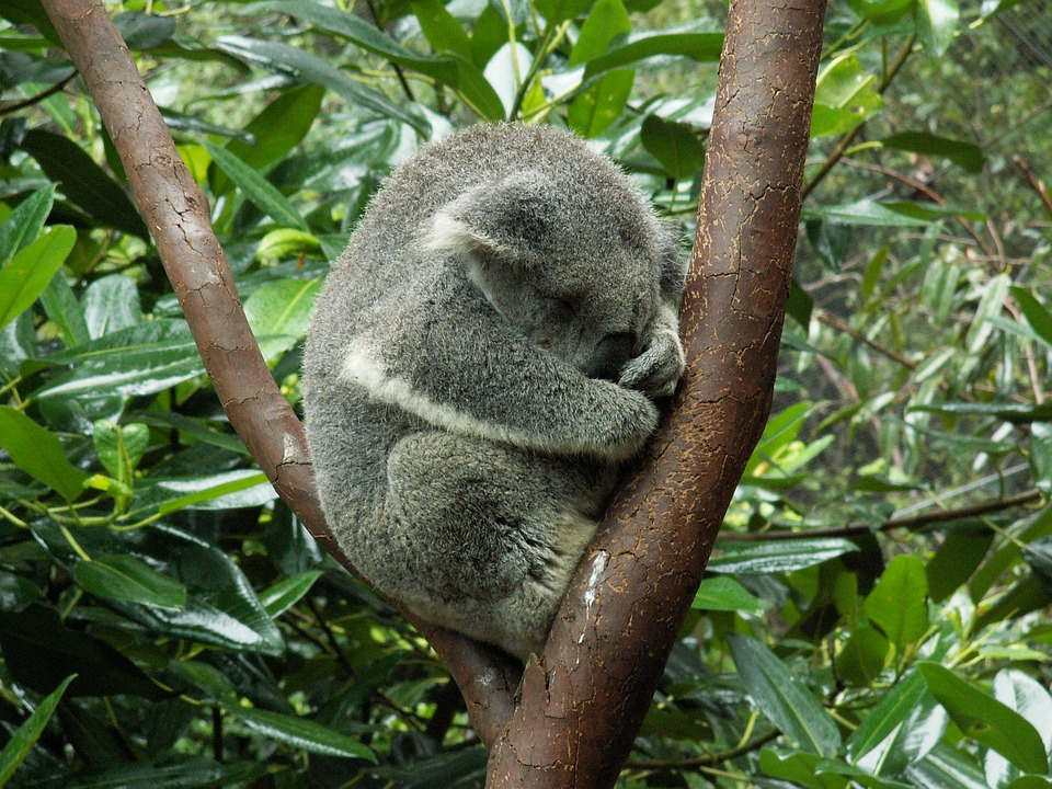Sleep Koala Tree Australia Teddy Bear Animal-12 Inch BY 18 Inch Laminated  Poster With Bright Colors And Vivid Imagery-Fits Perfectly In Many  Attractive Frames - Walmart.com - Walmart.com