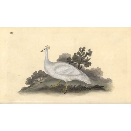 Florilegius Mary Evans Stretched Canvas Art White Crested Pea Fowl