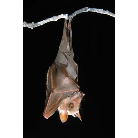 Buettikofers Epauletted Bat hanging upside down from roost Poster Print by Ingo - Halloween Upside Down Bats