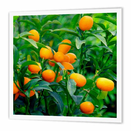 3dRose Kumquat fruit tree, Agriculture - NA01 PRI0002 - Prisma, Iron On Heat Transfer, 6 by 6-inch, For White Material