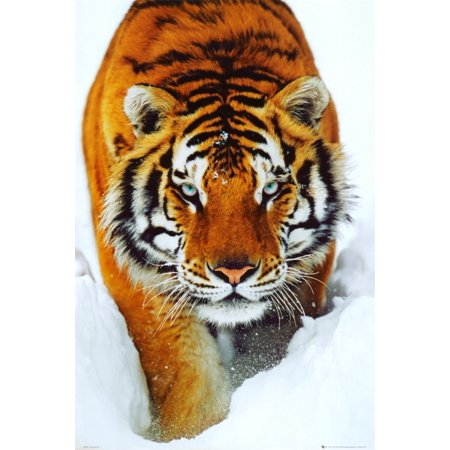 Tiger Snow Poster 24 x 36in with Poster Hanger 24 x 36 Inch..., By allane Ship from US](Snow Tiger For Sale)