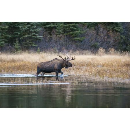Bull moose in rut wades in a pond Kincaid Park Anchorage Alaska autumn Stretched Canvas - Michael Jones  Design Pics (19 x