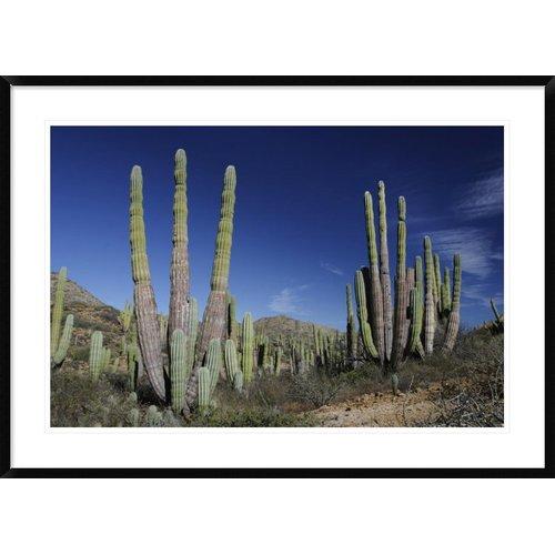 Global Gallery 'Cardon Cacti, Santa Catalina Island, Sea of Cortez, Mexico' Framed Photographic Print