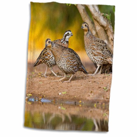 3dRose Northern Bobwhite quail bird, emerging from cover - US44 LDI0553 - Larry Ditto - Towel, 15 by 22-inch