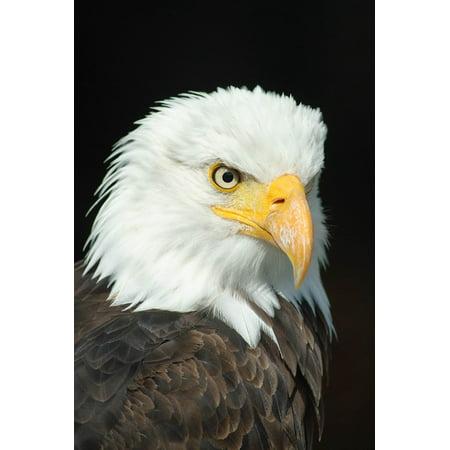 Canvas Print Bill Adler Bald Eagle Bird of Prey Raptor Animal Stretched Canvas 10 x 14