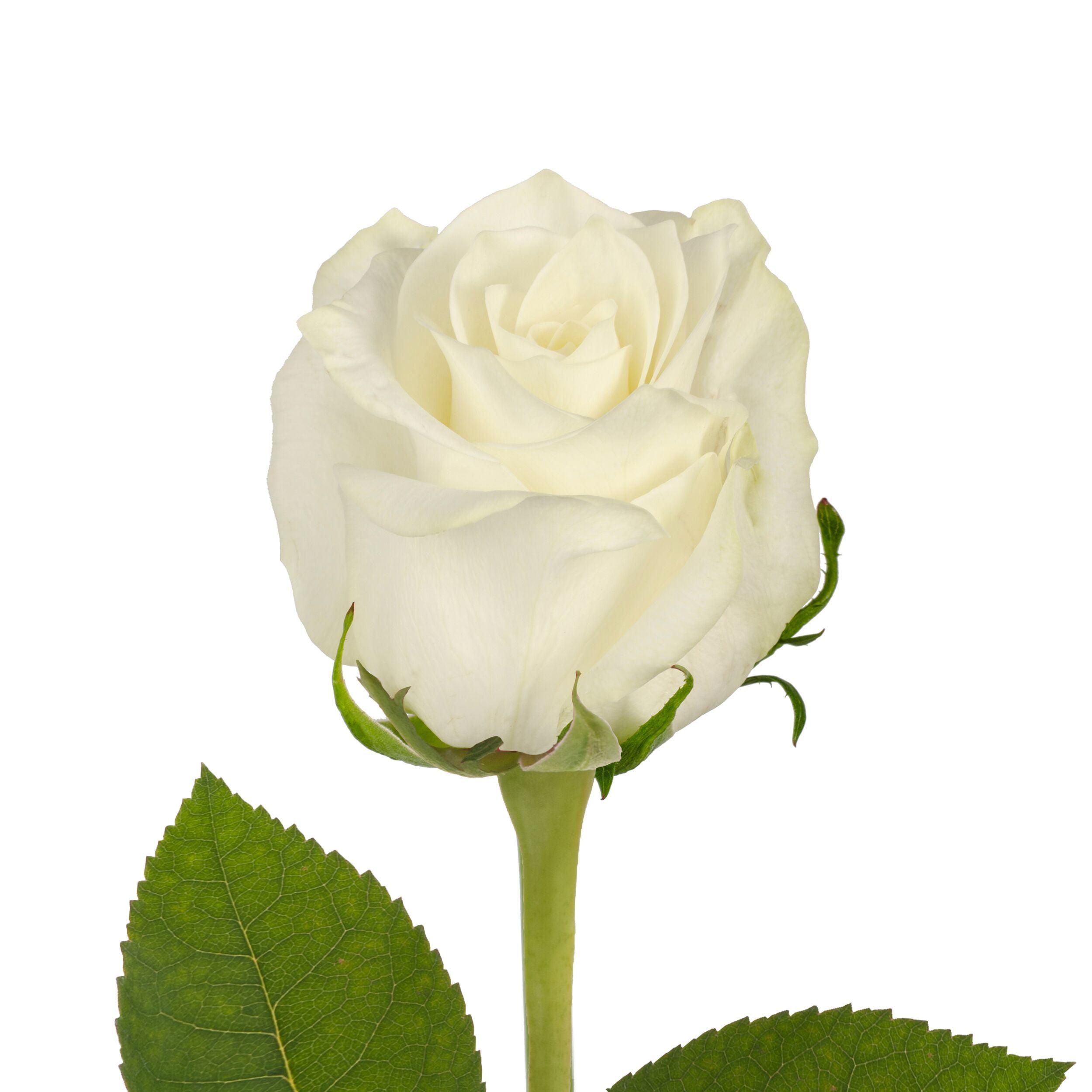 """Natural Fresh Flowers - White Roses, 20"""", 75 Stems"""