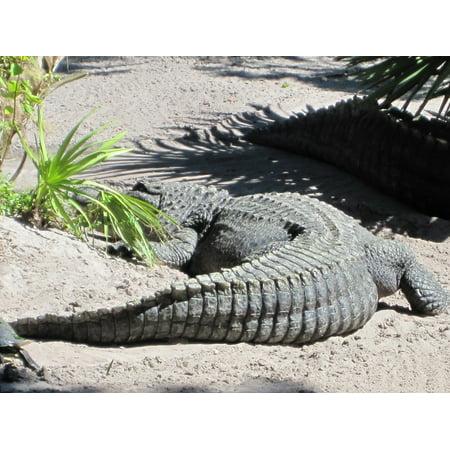 Canvas Print Alligator Tail Crocodile Stretched Canvas 10 x 14
