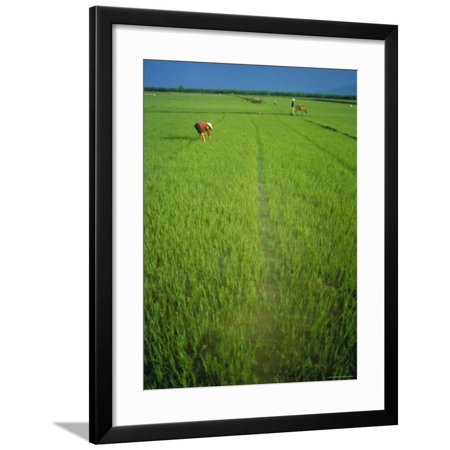 Rice Paddy Fields, Lang Co, Vietnam Framed Print Wall Art By Tim (Rice Hull Garden)