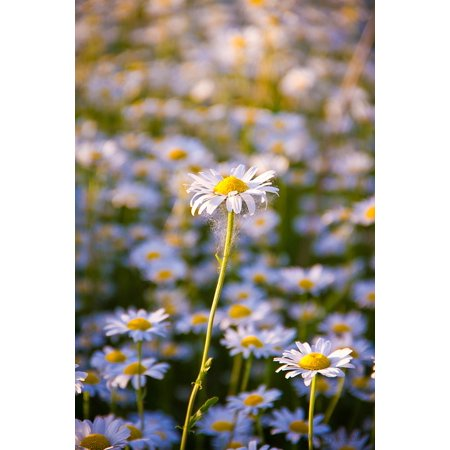 Laminated Poster White Flower Daisy Summer Closeup White Flowers Poster Print 24 x 36