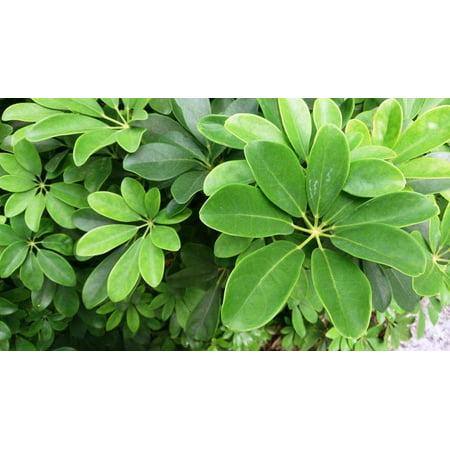 Image of Foliage Arboricola In 10in Pot