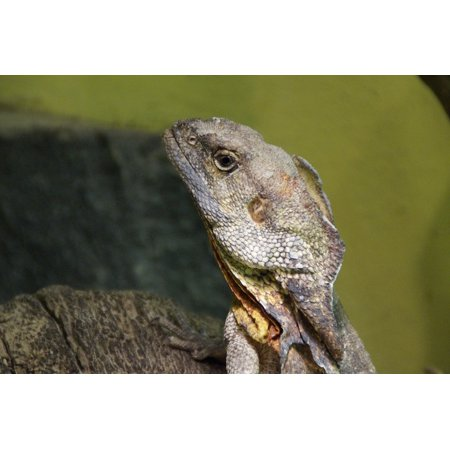 LAMINATED POSTER Frill Necked Lizard Zoo Reptile Terrarium Lizard Poster Print 24 x 36 Frill Neck Lizard