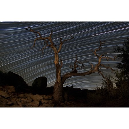 Pinyon Pine Trees (A dead Pinyon pine tree and star trails in the pine city area of Joshua Tree National Park California Poster)