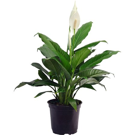 Delray Plants Spathiphyllum Peace Lily Easy Care Live