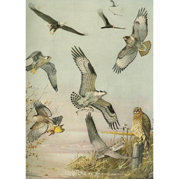 Birds Of Massachusetts 1925 Eagle Hawk Birds Of Prey Poster Print By La Fuertes Walmart Com Walmart Com