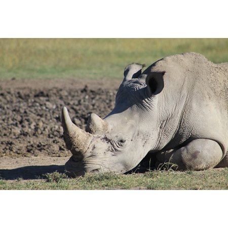 Canvas Print Horn Strong Tired Rhino Powerful Stretched Canvas 10 x -