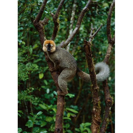 Red-fronted Brown Lemur male Ranomafana NP Madagascar Poster Print by Konrad - Brown Lemur