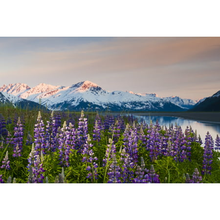 Scenic View Of Lupine Along Turnagain Arm At Sunset Near Twentymile River With Alpenglow Over The Chugach Mountains Chugach National Forest Southcentral Alaska Summer Canvas Art   Michael Deyoung  Des