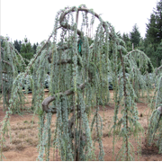 Weeping Blue Atlas Cedar - Serpentine - ( TG )