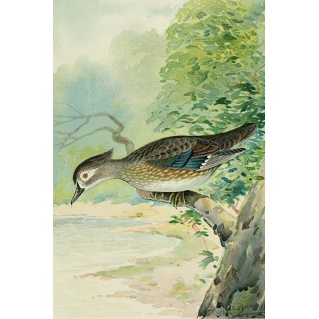 Commissioners of Fisheries NY 1899 Wood-duck Female Canvas Art - JL Ridgway (18 x 24)