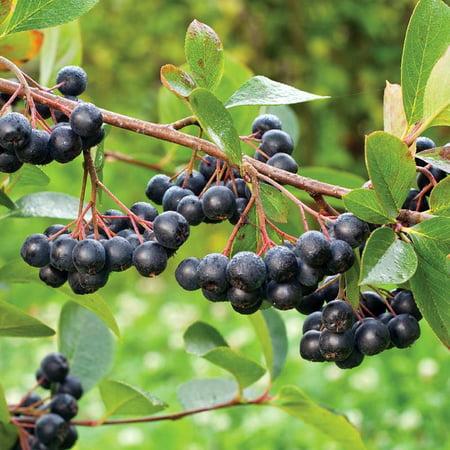 viking black chokeberry plant aronia shrub bonsai wine. Black Bedroom Furniture Sets. Home Design Ideas