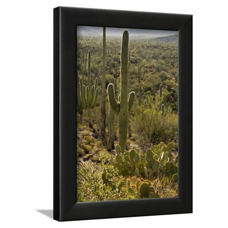 Red Signal Pear (Saguaro and Prickly Pear Cacti, Signal Hill, Saguaro NP, Arizona, Usa Framed Print Wall Art By Michel Hersen )