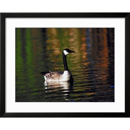Best Canada Goose Swimming in Water Framed Print Wall Art deal