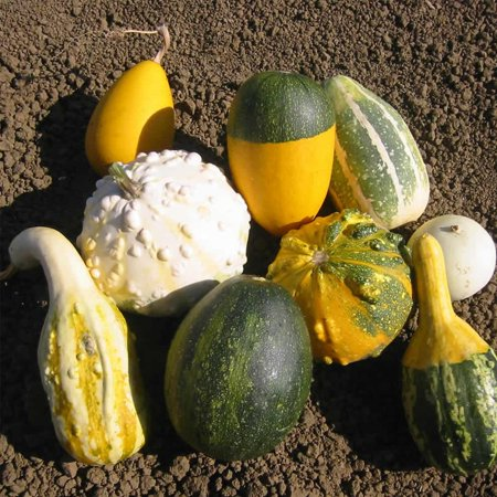 Gourd Garden Seeds - Large & Small Grouds Mix - 1 Lb - Non-GMO, Heirloom Vegetable Gardening Seed - Cucurbita Pepo