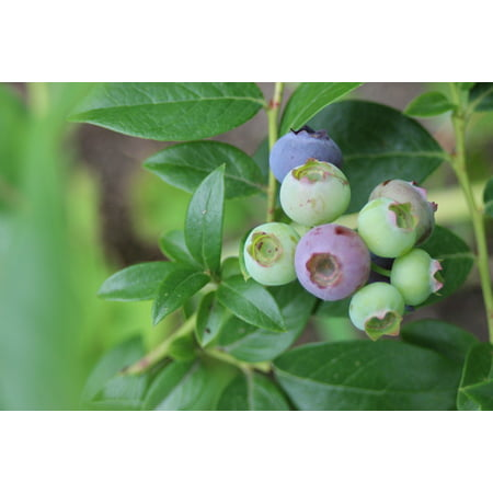 Canvas Print Bush Bickbeere Fruits Berry Blueberry Plant Fruit Stretched Canvas 10 x