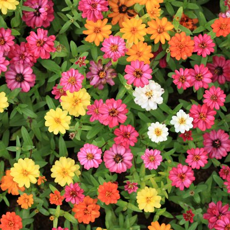 Zinnia 100 Seeds (Zinnia Flower Garden Seeds - Profusion Series - Mix - 100 Seeds - Annual Flower Gardening Seed - Zinnia hybrida )
