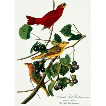Summer Red Bird by John James Audubon lithograph (1785-1852) Canvas Art - John James Audubon (24 x 36)