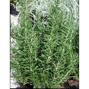 """Barbeque Rosemary Herb Plant - Non-GMO - Two (2) Live Plants - Not Seeds - Each 4"""" to 7"""" Tall - In 3.5 Inch Pots"""