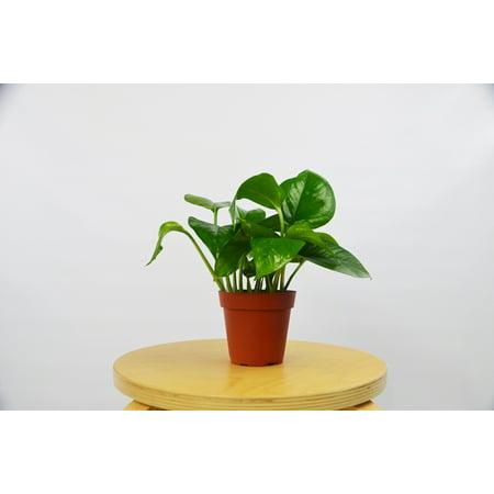 Golden Devil's Ivy - Pothos Plant / 4
