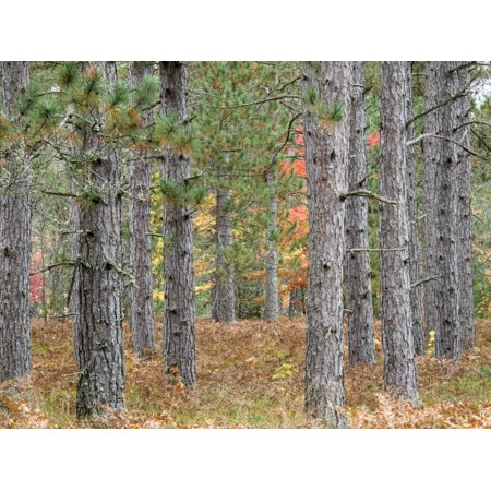 Fall Foliage and Pine Trees in the Forest. Print Wall Art By Julianne