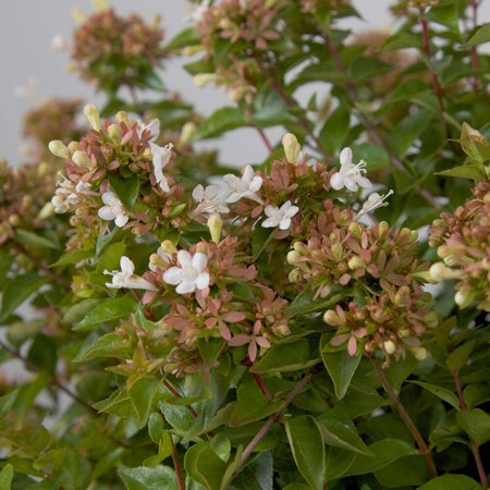 Rose Creek Abelia, Flowering Shrub, Live Plants