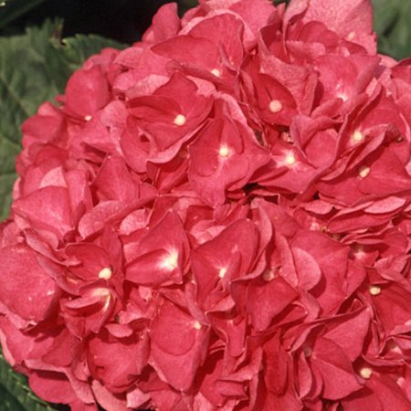 - Merritt's Supreme Pink Hydrangea, Flowering Deciduous Shrub