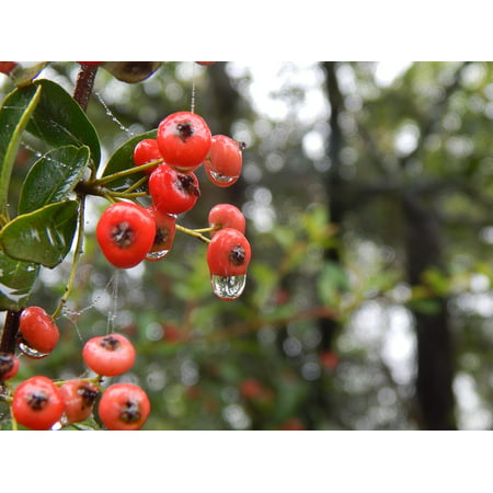 - LAMINATED POSTER Nature Plants Wild Rain Forest Red Berries Poster Print 24 x 36