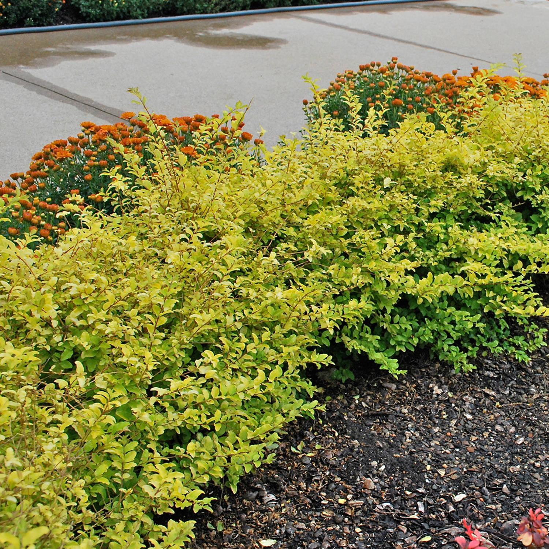 Sunshine Ligustrum Evergreen Shrub With Golden Foliage Walmart