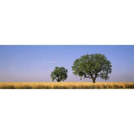 French Wheat Chain (Two almond trees in wheat field Plateau De Valensole France Canvas Art - Panoramic Images (18 x 6))