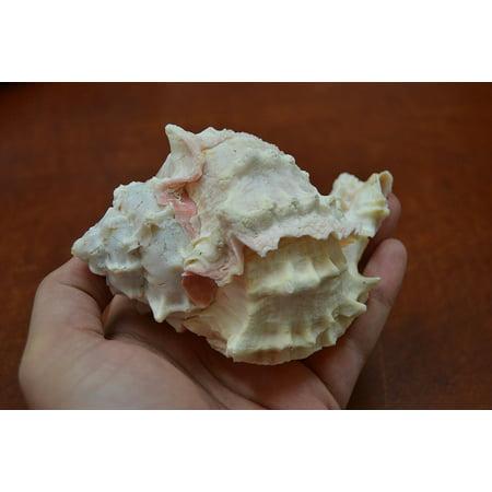 Pink Murex Hermit Crab Sea Shell Beach Decor 4