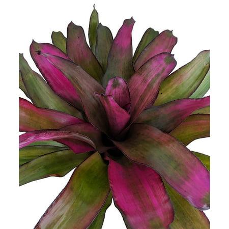 Blushing Purple Vase Plant - Great Houseplant - 6