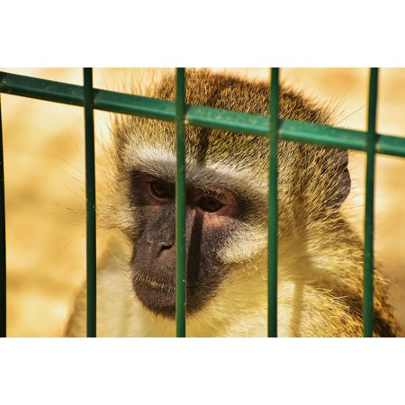 LAMINATED POSTER Primate Imprisoned Mammal Grid Cage Monkey Animal Poster Print 24 x 36
