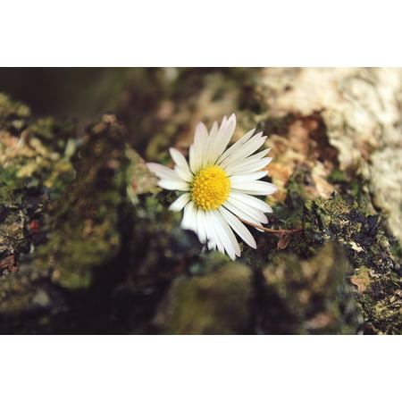 LAMINATED POSTER Daisy White Bloom Plant Blossom Close Flower Poster Print 24 x 36