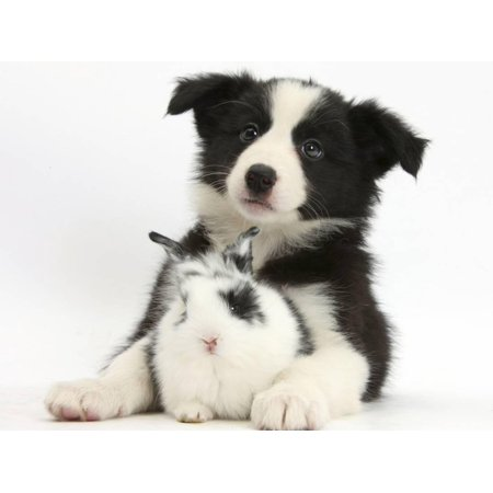 Border Collie Black And White - Black and White Border Collie Puppy and Baby Bunny Print Wall Art By Mark Taylor