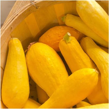 Sunburst Squash Seed - Packet of 45 Seeds, Early Prolific Straightneck Summer Squash (Cucurbita pepo) Non-GMO Seeds by Seed Needs